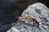 foto of crustations  - This is the Purple Rock Crab or Shore Crab Latin name Leptograpsus variegatus - JPG