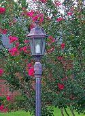 image of crepe myrtle  - blooming crape myrtle shrub behind street lamp - JPG