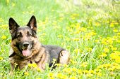 stock photo of shepherd dog  - German Shepherd on the meadow with dandelions - JPG