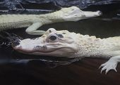 foto of alligator baby  - Two baby white albino alligators in the water with reflections Alligator mississippiensis - JPG