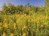 foto of ragweed  - A field of yellow allergy producing flowers - JPG