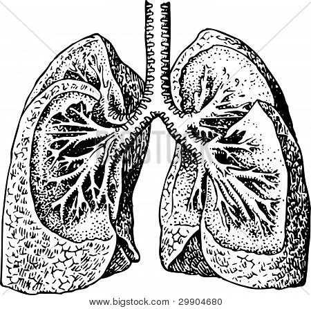 Lungs of man