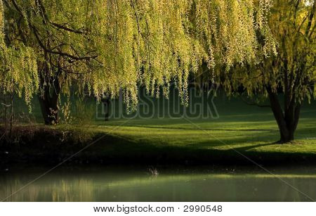 Willow Trees Landscape