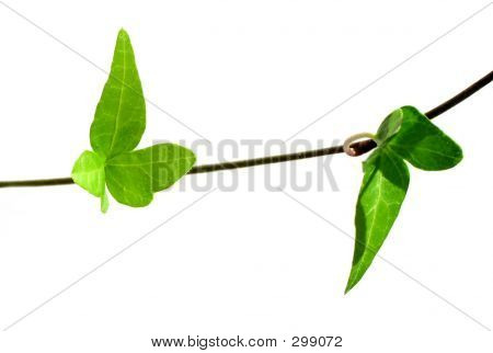 Ivy On White Background 3