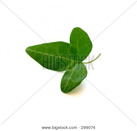 Isolated Green Ivy Leaf