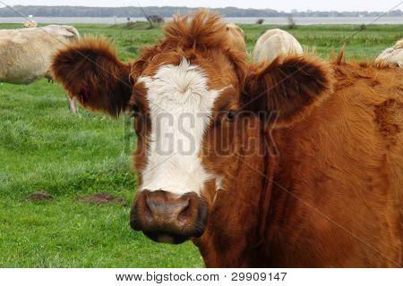 glückliche lustige Kuh mit großen Ohren