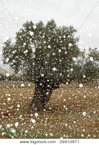 Olive tree with falling snow