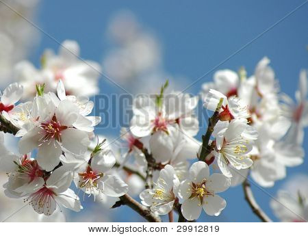 flower spring blossoms with blue sky (selective DOF)