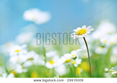Blume des Frühlings mit blauem Himmel (selektive Dof), Gänseblümchen Blumen-Serie b