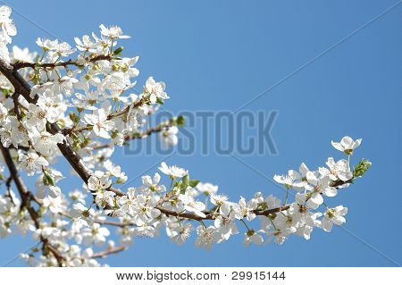 plum blossoms against blue sky(selective DOF), spring series B