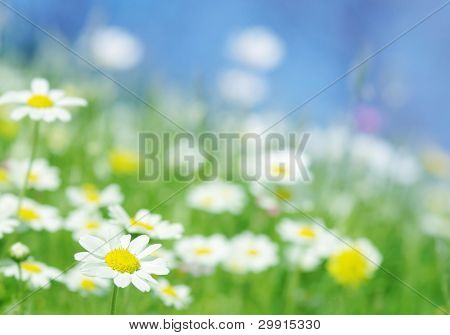 Gänseblümchen-Blumen (selektive Dof); Frühling-Serie b