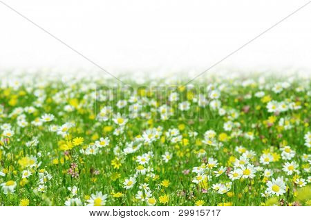 Daisy flowers field with copy-space (shallow DOF); spring series C
