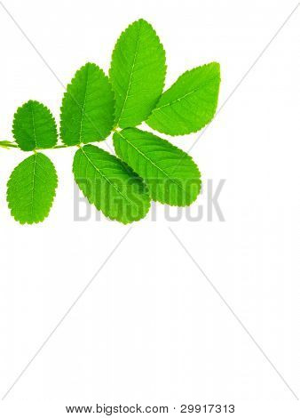 isolated green leaves; Series C1