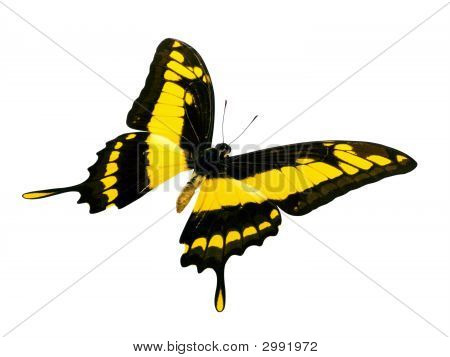 Butterfly - Yellow And Black