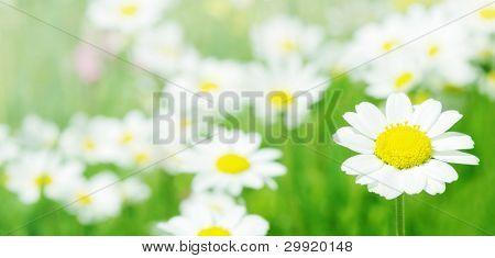 Margarida flores (DOF seletiva); Primavera série B