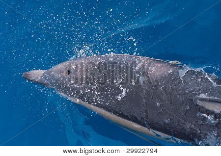 Common Dolphin with water splashes