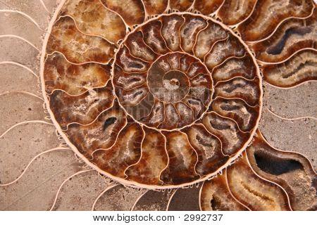 Spiral Ammonite