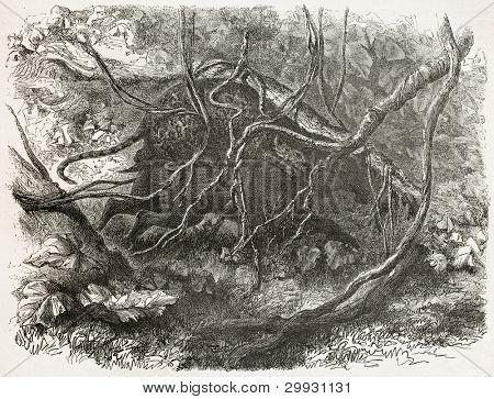 Jaguar attacking tapir in a thick jungle, Amazon. Created by Riou and Laplante, published on Le Tour du Monde, Paris, 1867