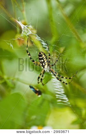 Black-And-Yellow Garden Spider (Argiope Aurantia)