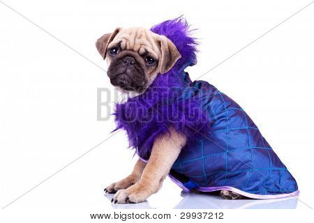 funny little dressed mops dog sitting on a white background. side view of a dressed pug puppy dog
