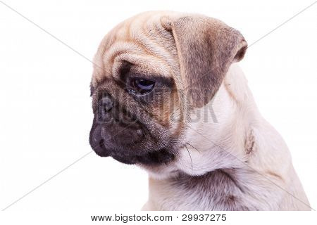 head of a mops puppy dog on white background. closeup picture of a cute pug's face, looking to a side