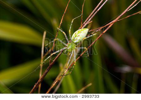 Grüne Luchsspinnen