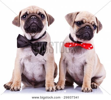 lady and gentleman pug puppy dogs sitting on white background. cute pair of mops puppies wearing nice neck bows