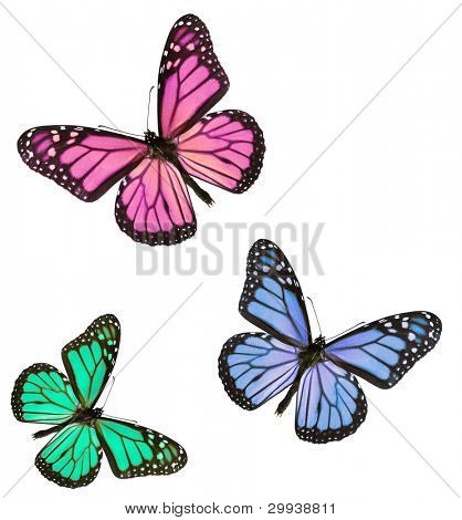 Pink blue and green monarch butterflies isolated on white background, studio lit