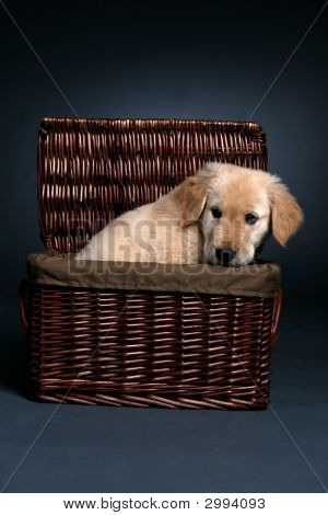 Golden Retriever Puppy In A Basket