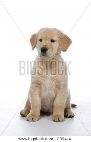 Golden Retriever Puppy Sitting