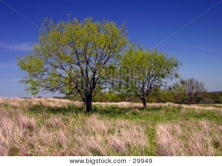 Two Texas Trees