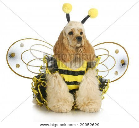 dog dressed like a bee - american cocker spaniel wearing a bumble bee costume