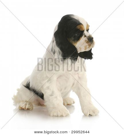 cute puppy - tri color american cocker spaniel puppy sitting on white background