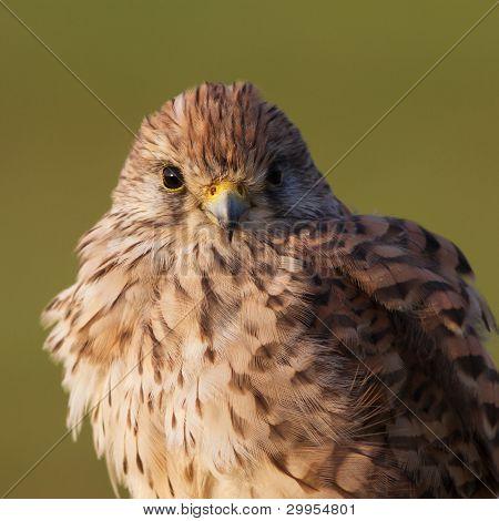 Kestrel portrait/Common Kastrel / Falco tinnunculus