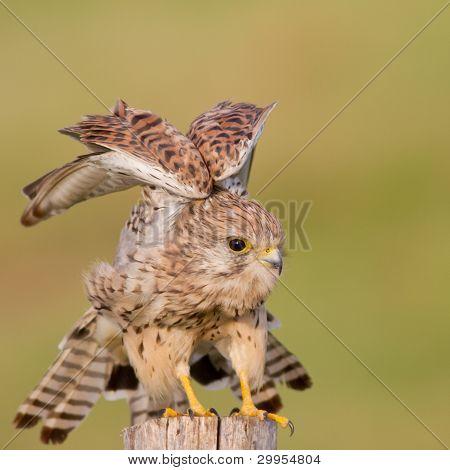 Common Kastrel / Falco tinnunculus