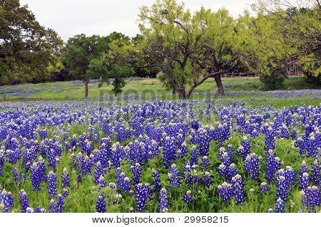 Bluebonnets On A Hillside