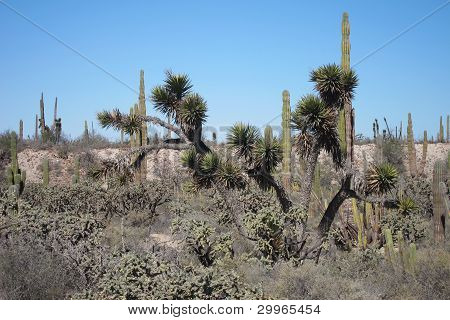 A Cactus forest in the Viscaino Desert of Baja, Mexico