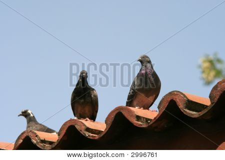 Doves On Roof