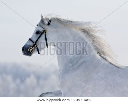 Gray horse in winter (portrait)