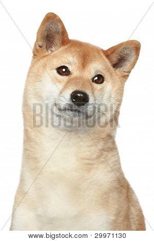 Shiba Inu perro retrato
