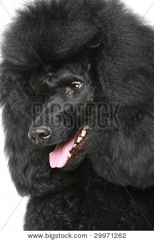 Black Royal Poodle Portriat