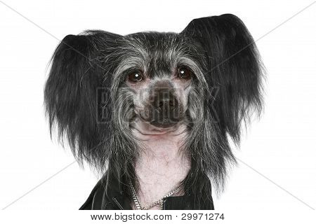 Black Chinese Crested Dog. Close-up Portrait