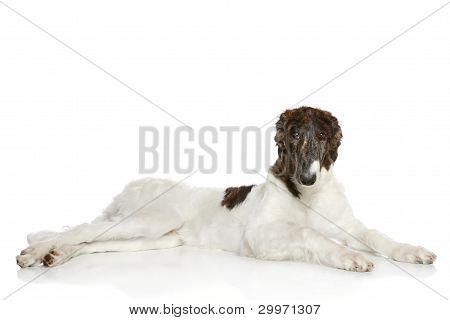 Greyhound. Russian Borzoi Dog