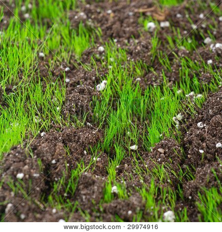 Closeup of young fresh green grass in the soil