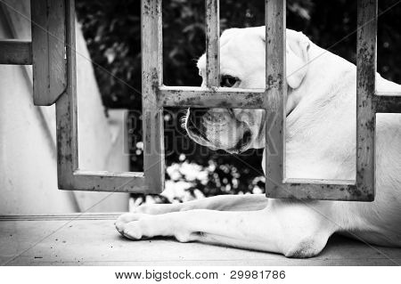 Sad Dog Is Sitting Behind Iron Gate