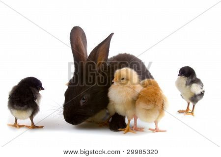 Black Rabbit And Chickens