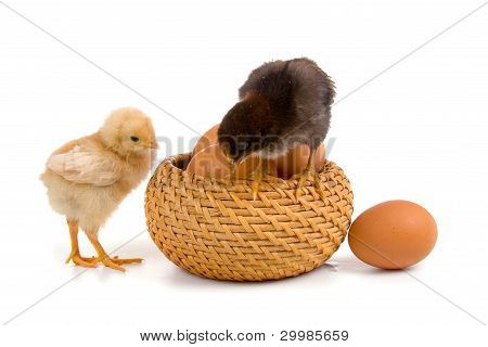 Chickens Sitting On Eggs