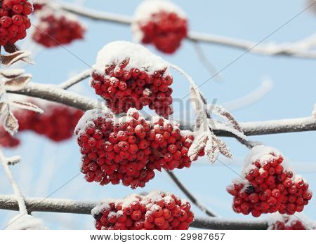 Winter ashberry under the snow