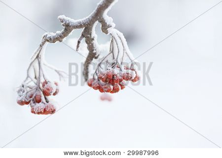 Ashberry on snowy tree branch