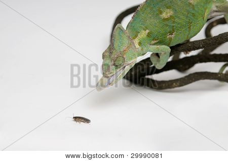 Chameleon hunting